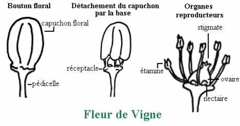 Fleurs De Vigne Culles Les Roches